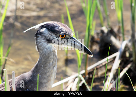 A Yellow-Crowned Night Heron at the edge of a coastal wetland. - Stock Photo