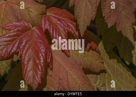 Leaves of Sycamore / Acer pseudoplatanus. Sycamore is a member of the Maple family. - Stock Photo