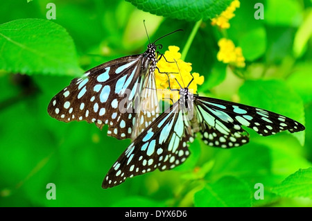 Tirumala limniace or Blue tiger Butterfly - Stock Photo