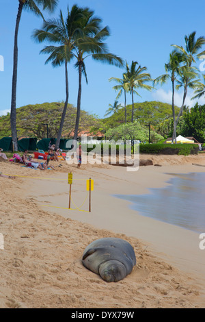 Pregnant Hawaiian Monk Seal (Neomonachus schauinslandi) resting in temporary roped-off area of Poipu Beach with - Stock Photo