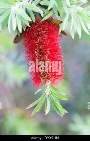 Callistemon viminalis 'Little John'. Weeping Bottlebrush flower. - Stock Photo