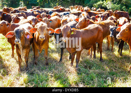Limousin cattle, Cairns Queensland Australia - Stock Photo