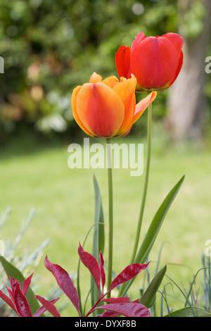 Garden Tulips - Stock Photo