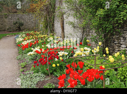 Mass of Colourful Spring Tulips in an English Walled garden - Stock Photo