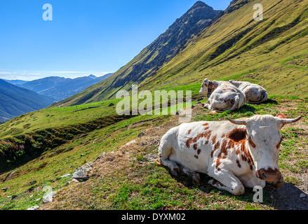Cows on green alpine pasture in Italian Alps. - Stock Photo