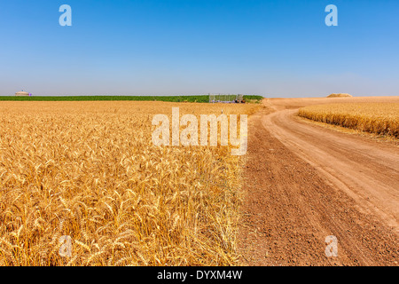 Country road between rural fields with ripe wheat under blue sky in Israel. - Stock Photo
