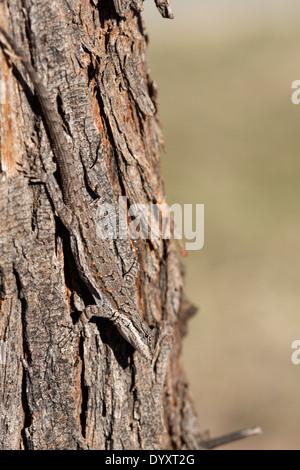 Ornate tree lizard (Urosaurus Ornatus) - Stock Photo