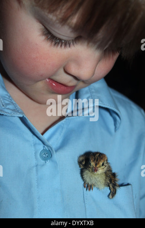 four year old school boy with two day old quail chick (Japanese Corturnix)  in his pocket, UK, England - Stock Photo