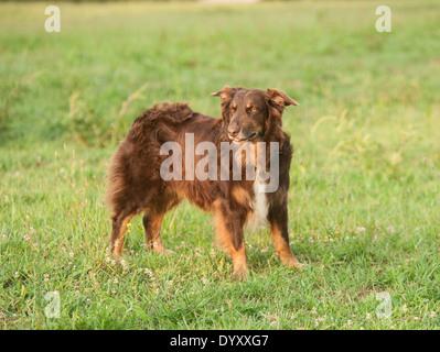 Australian Shepherd dog in field of grass - Stock Photo