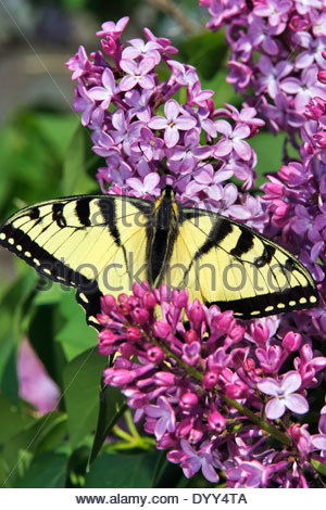 Eastern Tiger Swallowtail Butterfly (Papolio glaucus)on a Lilac blosson - Stock Photo