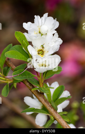 White spring flowers of Exochorda macrantha 'The Bride' - Stock Photo
