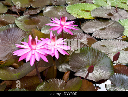 Lotus flower habitat choice image flower decoration ideas bloom white lotus in natural habitat stock photo royalty free image lotus flower background bloom in mightylinksfo Image collections