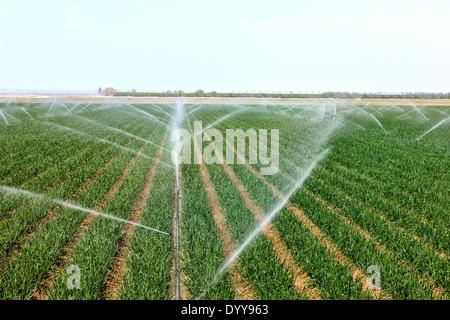 Onion field 'Allium cepa' sprinkler irrigation. - Stock Photo