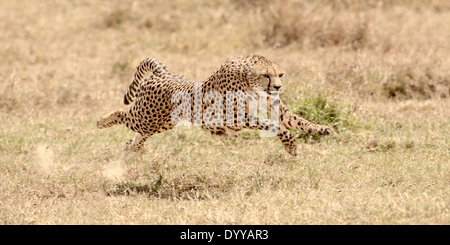 a female cheetah running at full speed, chasing an impala in kenya, africa - Stock Photo