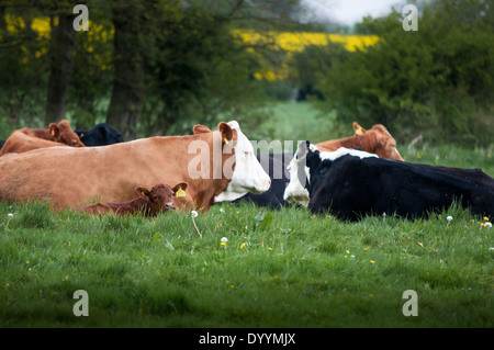 cows lying down in field - Stock Photo