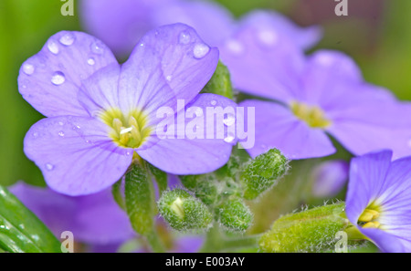 Lilac pansy flowers with green background - Stock Photo