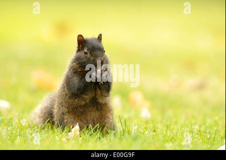 Black Squirrel Portrait - Stock Photo