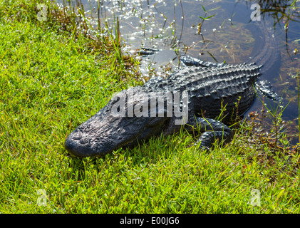 Young American Alligator (Alligator mississippiensis), by side of Shark Valley loop road, Everglades National Park, - Stock Photo