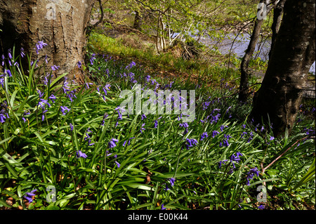 Bluebells (Hyacinthoides non-scripta) a bulbous perennial plant growing in woodland at Swan Park, Buncrana, County - Stock Photo