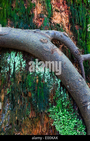 Abstract image of a fir tree root clinging to a nutrient-rich rotting tree stump - Stock Photo