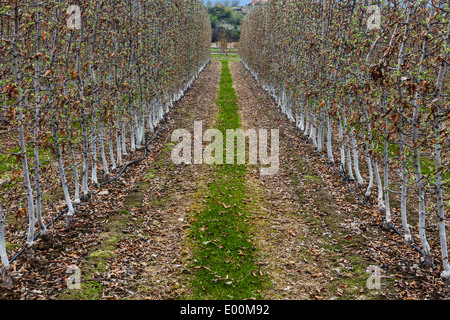 Converging rows of young fruit trees in an Okanagan Valley orchard near Kelowna, British Columbia, Canada - Stock Photo