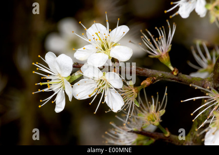 A Blackthorn Tree (Prunus spinosa) carries its last flowers on Cinnamon Lane in Glastonbury - Stock Photo