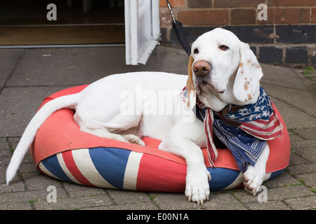 Cross bred hound laying on a Union jack Beanbag with stars and stripes Neckerchief around his neck - Stock Photo