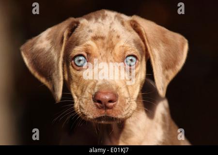 Louisiana Catahoula Leopard Dog. Portrait of a puppy. Germany - Stock Photo