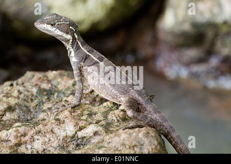 Common Basilisk, or Jesus Christ Lizard (Basiliscus basiliscus). Costa Rica. Sub-adult. - Stock Photo