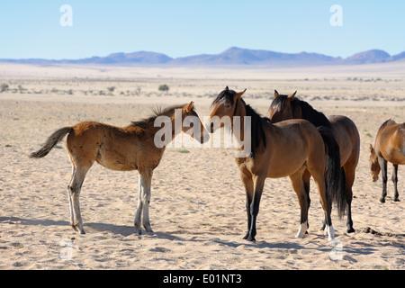 Namib Desert Horse (Equus ferus caballus). Group in Garub Pan, Namib Desert, Naukluft National Park, Namibia - Stock Photo