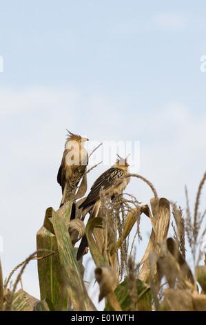 Anu branco (Guira guira, guira cuckoo) sitting on sweetcorn plant. - Stock Photo