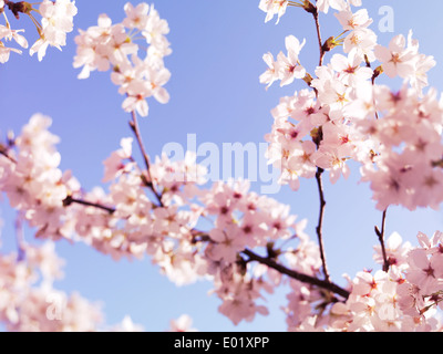 Closeup of cherry blossom, Japanese cherry tree flowers over blue sky - Stock Photo