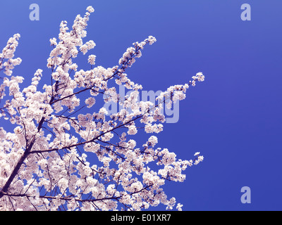 Cherry blossom over blue sky background. Blooming Japanese cherry tree branches. - Stock Photo