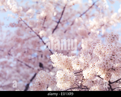 Artistic closeup of cherry blossom with shallow focus, blooming Japanese cherry tree flowers background - Stock Photo