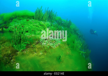 Lake Baikal Sponge (Lubomirskia baicalensis) - Stock Photo