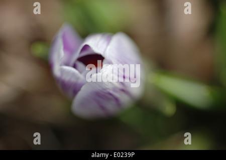 Closeup striped violet crocus vernus flower - Stock Photo
