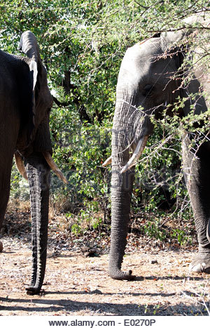 Two African elephants(Loxodonta africana) standing, facing each other with their trunks touching the ground; in - Stock Photo