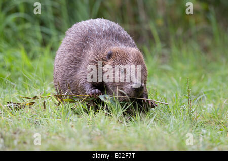 European Beaver (Castor fiber) feeding on a branch, Tyrol, Austria - Stock Photo