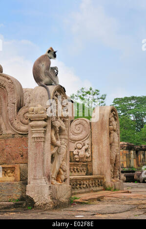 Toque Macaque (Macaca sinica) at the stairs to the round reliquary house of Vatadage, UNESCO World Heritage Site, - Stock Photo