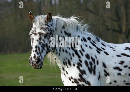 Appaloosa horse, spotted coat, portrait - Stock Photo