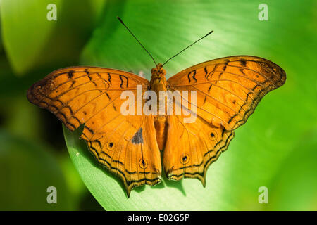 Brush-footed Butterfly (Nymphalidae), captive, Munich - Stock Photo
