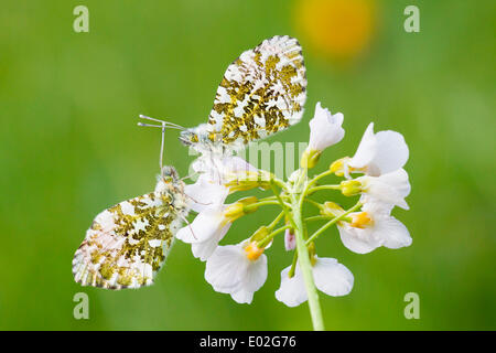 Two Orange Tip butterflies (Anthocharis cardamines), males, on a Cuckooflower or Cuckoo Flower (Cardamine pratensis) - Stock Photo