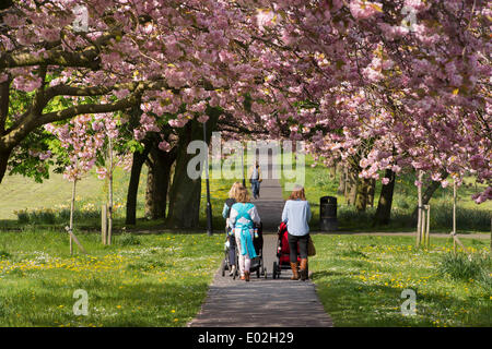 People walking on sunlit parkland path, under canopy of trees with beautiful, colourful pink cherry blossom -The - Stock Photo