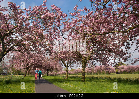 Couple on sunny path, walking under blue sky & canopy of trees with beautiful, colourful pink cherry blossom - The - Stock Photo
