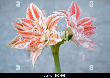 Amaryllis, dancing queen, double flowering - Stock Photo