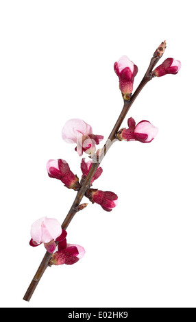 Apricot branch in flowers isolated on white - Stock Photo