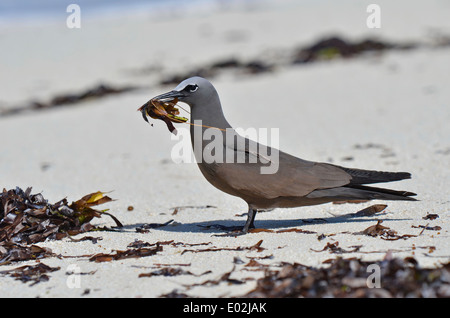 Brown Noddy or Common Noddy, Anous stolidus, - Stock Photo
