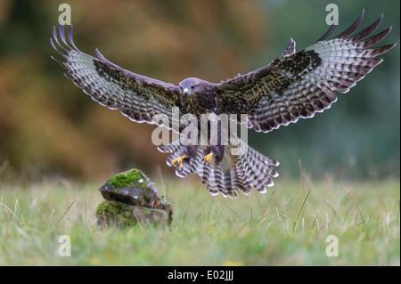 common buzzard, buteo buteo, germany - Stock Photo