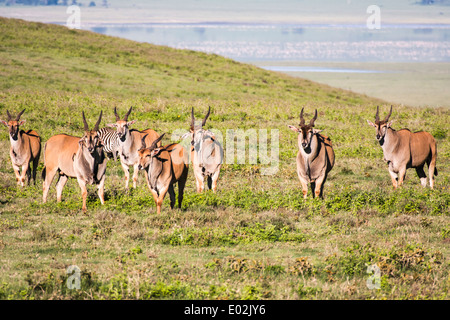 Herd of Common eland (Taurotragus oryx) Photographed in Ngorongoro Conservation Area (NCA) Tanzania - Stock Photo