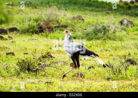 Secretary Bird (Sagittarius serpentarius) in the savanna. Photographed in Serengeti National Park, Tanzania - Stock Photo